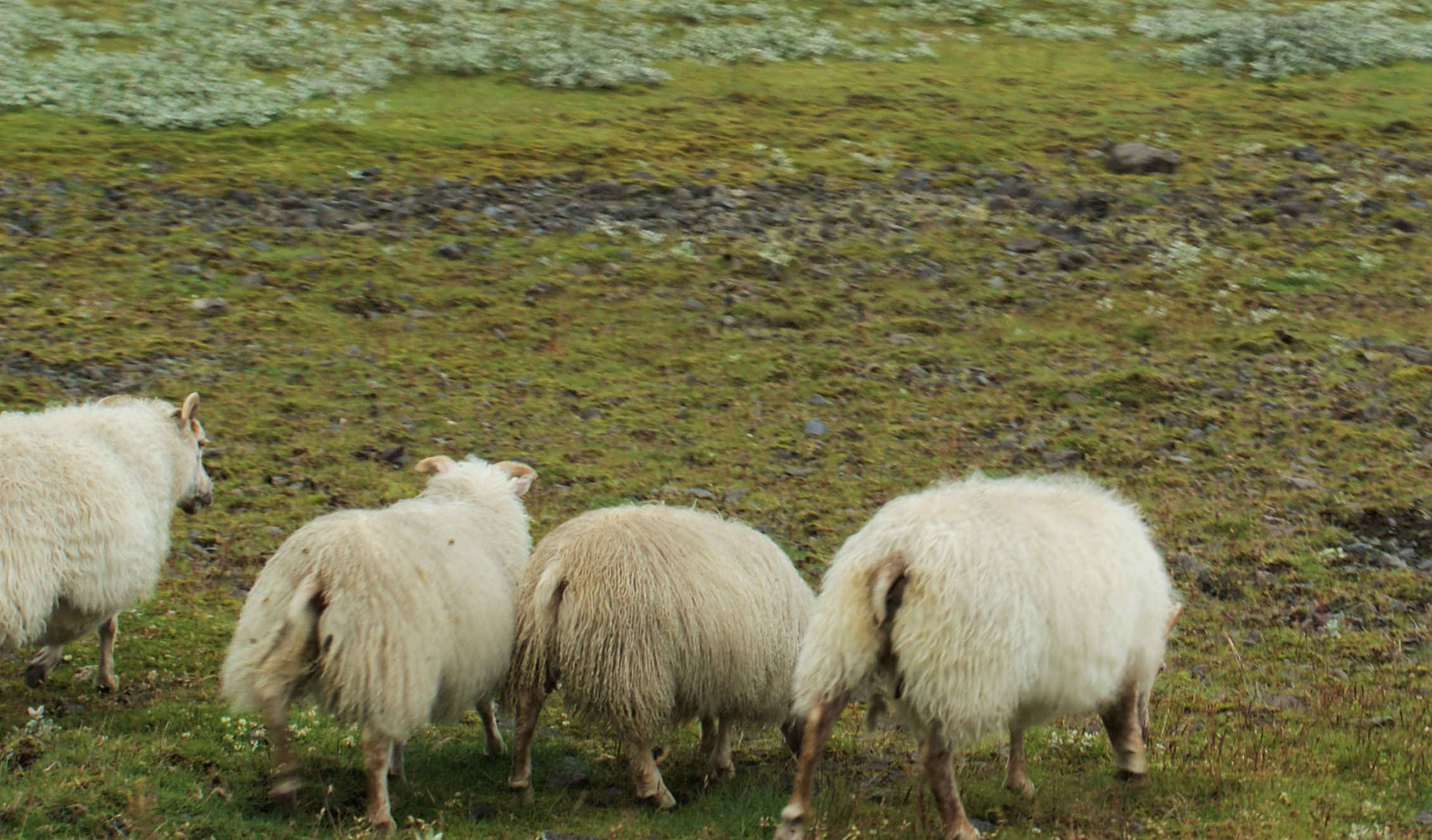 Sheep butts